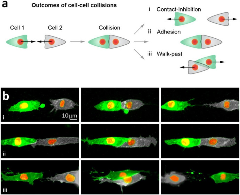 Zellmigration neuralleistenzellen cell micropatterning contact inhibition of locomotion