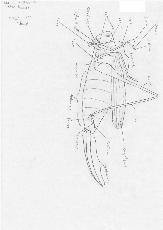 Decticus spec. lateral