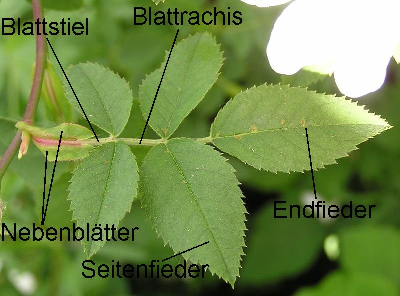 plant anatomy leaflet with Blatt on Vocabulary in addition 6249 besides What Do Membranes Do besides KS2 3 resources likewise Stipule.