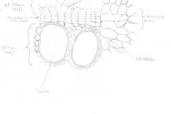 aristolochia_spross_quer_detail