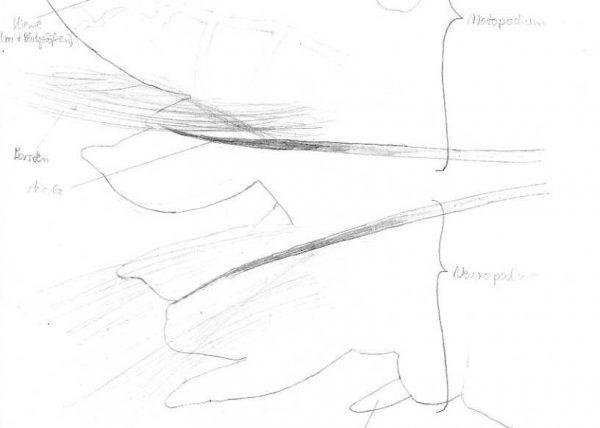 Asterias rubens Arm