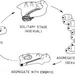 Reproduktionskreislauf der Salpen