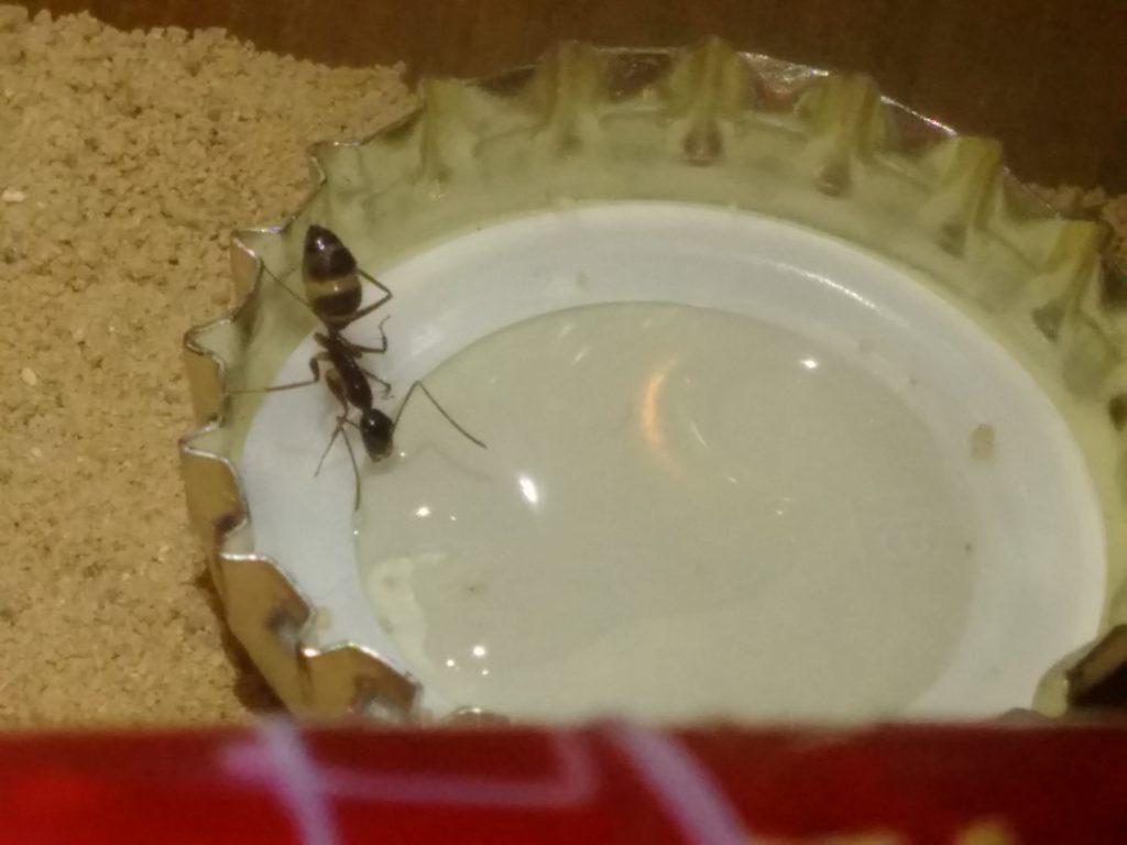Ameise beim trinken von Zuckerwasser