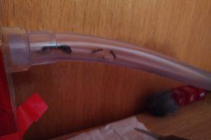Ameisenkönigin verlässt Schlauch am oberen Ende