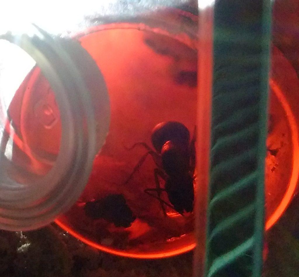 Ameisenkönigin beim trinken