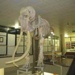 Skelett Elefant
