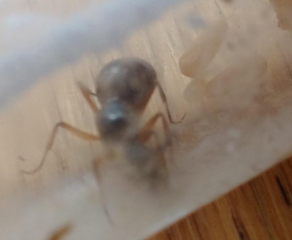 Ameisenkönigin mit Larven