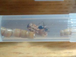 Ameise nagt am inneren eines Mehlwurms