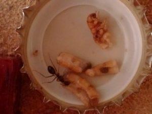 Mehlwurm auf Kronkorken Ameise probiert geöffneten Mehlwurm