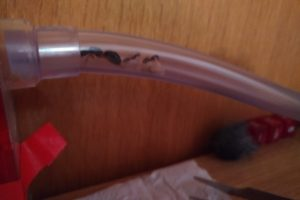 Ameisenkönigin klettert nach oben