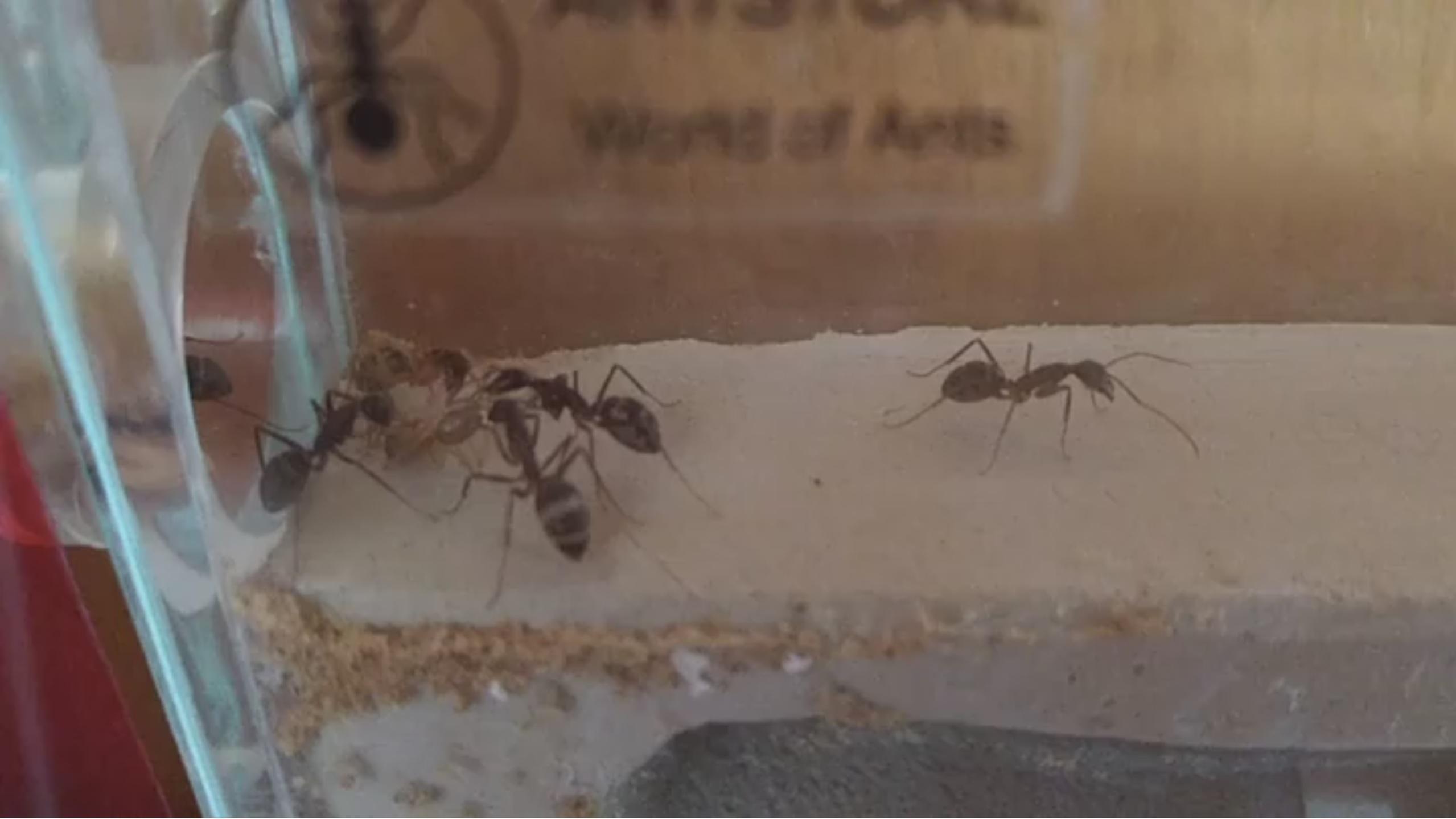 1/2 Eine Ameise schlüpft